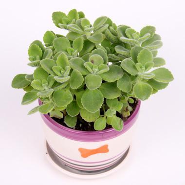 【花卉盆栽】室内桌面盆栽【碰碰香】一盆 到手香 你不碰它不香(含瓷