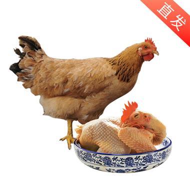 【产地直发】太湖基地生态散养土鸡 8个月 杀白3.3斤-3.6斤/只